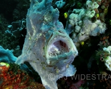 Frogfish 100