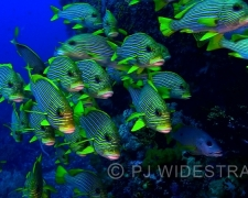 Sweetlips 100