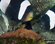 Saddleback Anemonefish Amphiprion polymnus & eggs