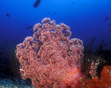 Soft Coral & diver