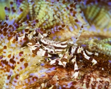 Zebra Crab on Fire Urchin
