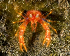 Robokon Squat Lobster