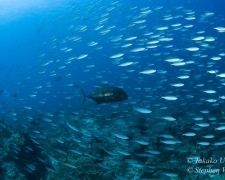 Giant Trevally hunting Fusiliers