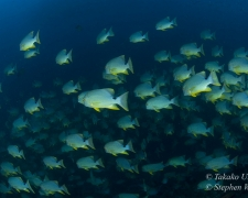 Sailfin Snappers