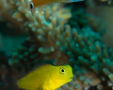 blenny-01tc-two-species-4331-stephen-wong