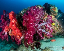 coral-04tc-soft-coral-chicken-reef-4023-stephen-wong