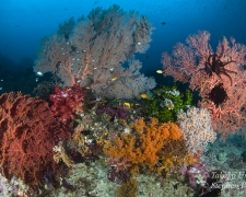 coral-41t-sea-fan-soft-coral-9815-stephen-wong-takako-uno-copy_01