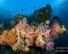 coral-43t-soft-coral-4794-stephen-wong-copy_01