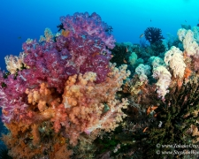 coral-60tc-soft-coral-tanjung-fiaba-5003-stephen-wong