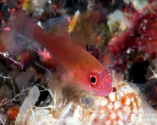 goby-01tc-cave-goby-9501-takako-uno