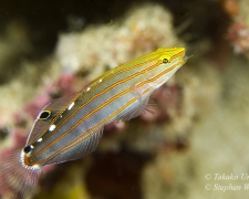 goby-08tc-red-lined-hovering-goby-5162-stephen-wong-copy_01