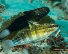 goby-11tc-pair-5599-stephen-wong