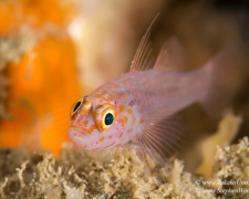 goby-15tc-trimma-goby-5889-stephen-wong
