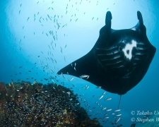 reef-manta-02t-glassfish-4980-stephen-wong-copy_01